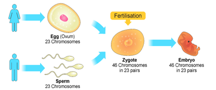 the process by which sex cells are formed is called in Dorset